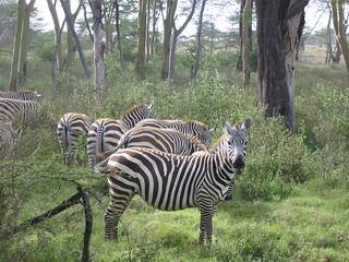 Zebra at lake Nakuru