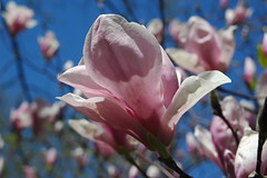blossom(0.0), bud(0.0), plant(0.0), flower(1.0), magnolia(1.0), macro photography(1.0), flora(1.0), close-up(1.0), spring(1.0), pink(1.0), petal(1.0),