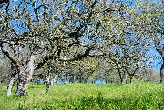 oak trees on a grassy hillside flickr photo sharing. Black Bedroom Furniture Sets. Home Design Ideas