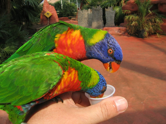 Rainbow Lory feeding (3)