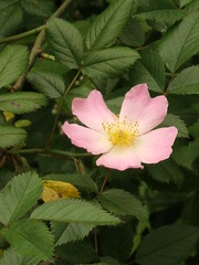 blossom(1.0), shrub(1.0), garden roses(1.0), flower(1.0), rosa gallica(1.0), plant(1.0), rosa rubiginosa(1.0), rosa canina(1.0), flora(1.0), rosa acicularis(1.0), rosa pimpinellifolia(1.0), rosa rugosa(1.0), petal(1.0),