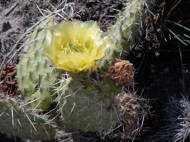 Flowering Cactus Alberta Bad Lands