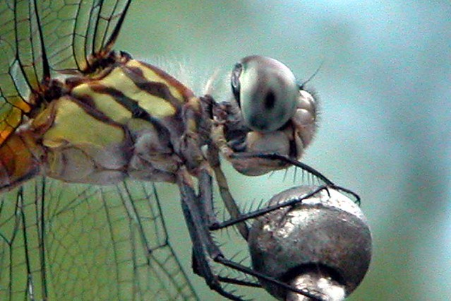 dragonfly, antenna  - side view