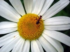 Ant on daisy by Bien Stephenson, on Flickr