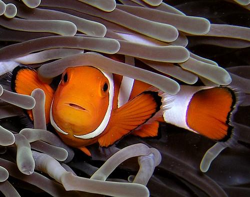 Clownfish a.k.a. Nemo