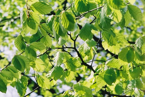 Silver Birch Leaves Flickr Photo Sharing
