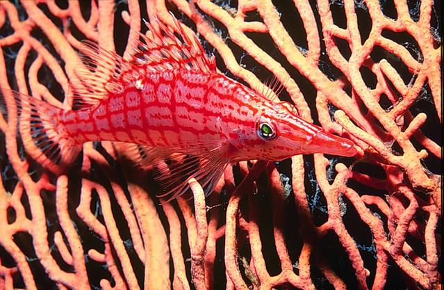 Gran Barrera de Coral, Australia, pez halcon