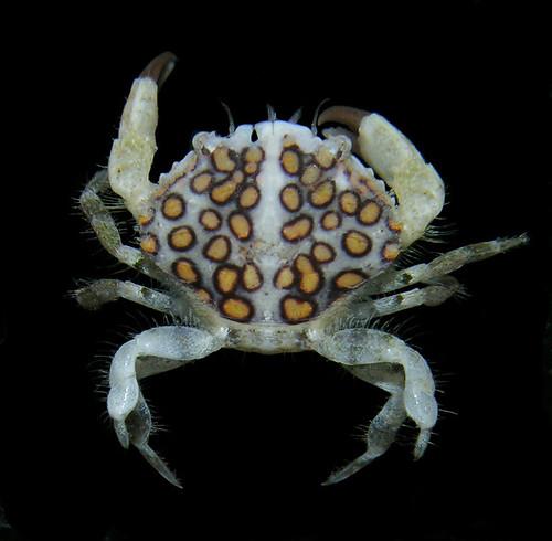 Cycloxanthops vittatus, Panama