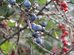 berry, branch, tree, plant, flora, produce, fruit, food, prunus spinosa,