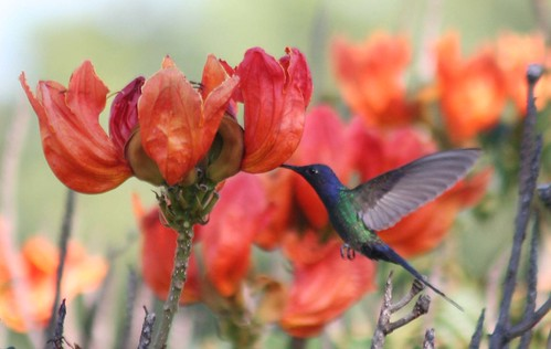 O Beija-flor Tesoura (Eupetomena macroura) e as Tulipas Africanas - The Swallow-tailed Hummingbird and the African tuliptrees 31 057 - 9