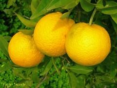 Laranjas // Oranges (Citrus sinensis)