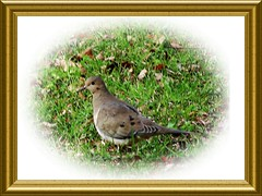 Mourning Dove ...
