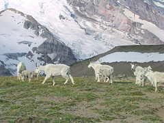Mountain Goats at First Burroughs 3 August 2003