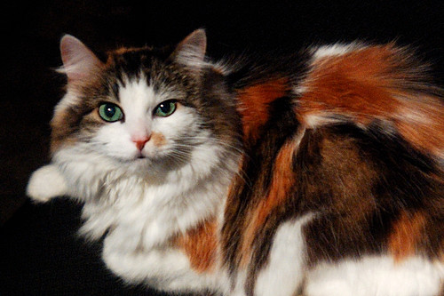 The Norwegian Forest Cat - Love Meow