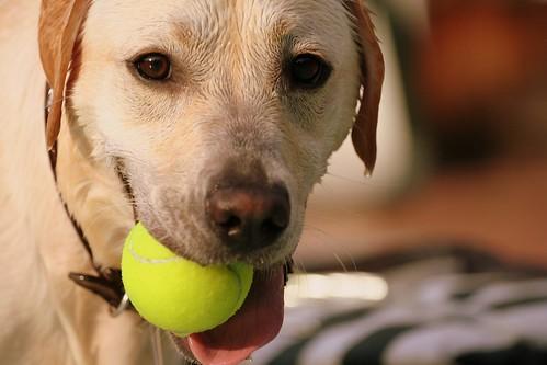 Tennis Ball Shugi