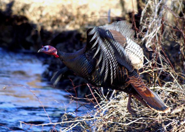 Wild turkey flight - photo#8