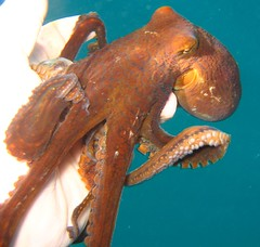 the hawaii day octopus