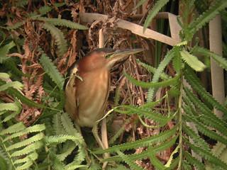 Ixobrychus novaezelandiae (New Zealand Bittern) - Avibase
