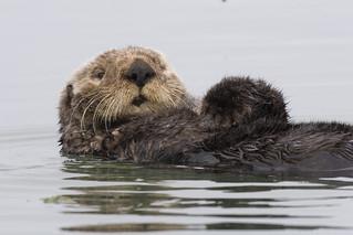 Sea Otter preening itself in Morro Bay, CA  sea-otter-morro-bay_13