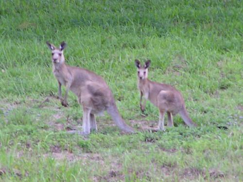 Attentive Kangaroos
