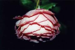 My Upside Down Rose Original Tiffs Pictures Flickr