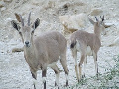 animal, deer, fauna, mountain goat, gazelle, wildlife,