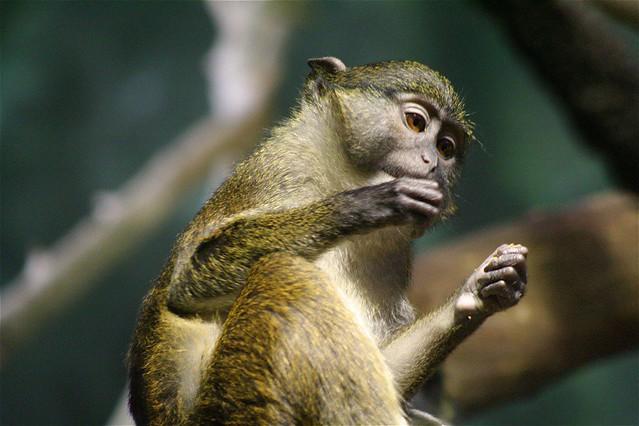 Header of Allenopithecus nigroviridis