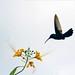 Colibri en vol by St3ph_fr