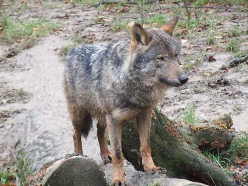 Iberische wolf