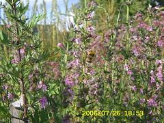 Artemisia et Hyssopus