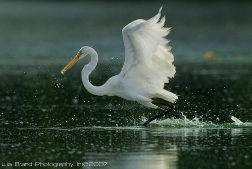 ♫levitation...♫...♫ great egret from bali♫