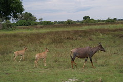 grazing(0.0), white-tailed deer(0.0), elk(0.0), impala(0.0), animal(1.0), prairie(1.0), antelope(1.0), deer(1.0), plain(1.0), herd(1.0), hartebeest(1.0), fauna(1.0), pasture(1.0), savanna(1.0), grassland(1.0), safari(1.0), wildlife(1.0),