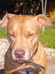 animal, pit bull, dog, pet, mammal, american pit bull terrier, vizsla, terrier,