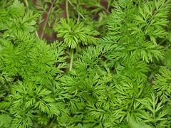 leaf, plant, japanese mugwort, herb,