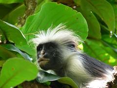 capuchin monkey(0.0), marmoset(0.0), white-headed capuchin(0.0), animal(1.0), monkey(1.0), mammal(1.0), fauna(1.0), spider monkey(1.0), new world monkey(1.0), jungle(1.0),