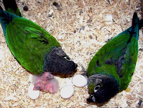 Green Cheek Conure Pair with Babies
