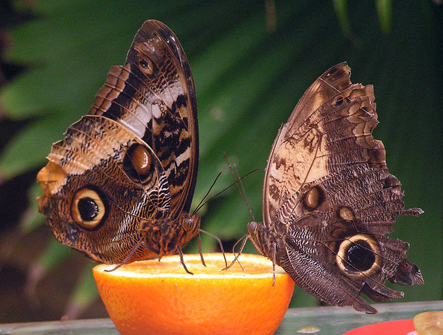 Oranges and Butterflies.