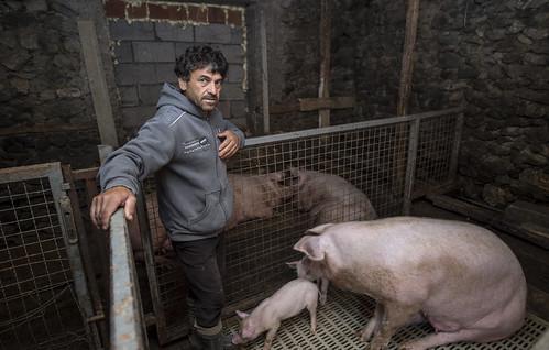 Farming pigs