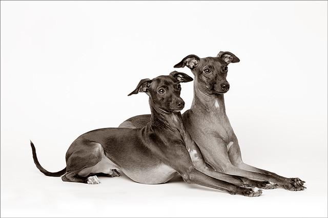 Pharaoh Hound Italian Greyhound Mix Svelte - Perfect Sight...