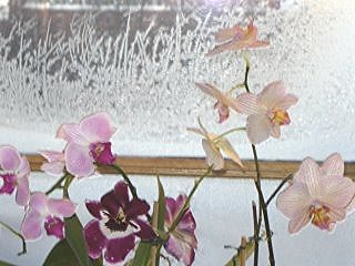 Orchids in the winter, January 2006