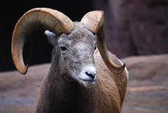 goats(0.0), animal(1.0), sheeps(1.0), sheep(1.0), argali(1.0), mammal(1.0), horn(1.0), barbary sheep(1.0), fauna(1.0), bighorn(1.0), close-up(1.0), wildlife(1.0),