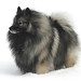 Favorite Keeshond photo