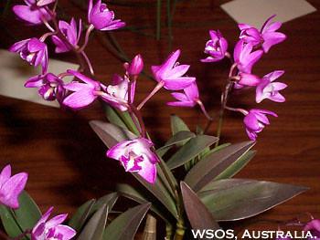 Dendrobium kingianium