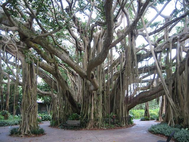 Banyan Tree Flickr Photo Sharing