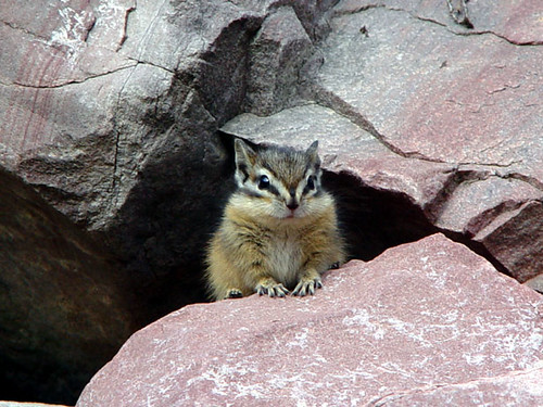 Baby chipmunk! by bluemountainb_b