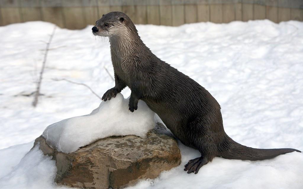 Loutre de rivière / River Otter