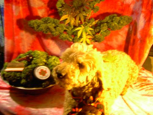free rasta weed