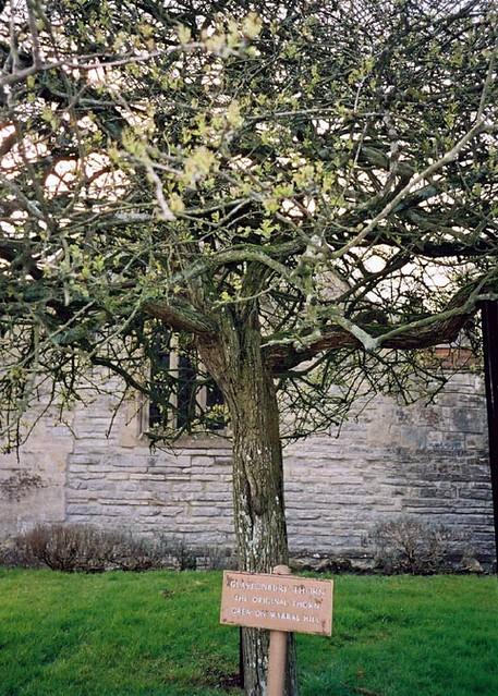 Glastonbury Thorn Tree Joseph Of Arimethea 1st Century