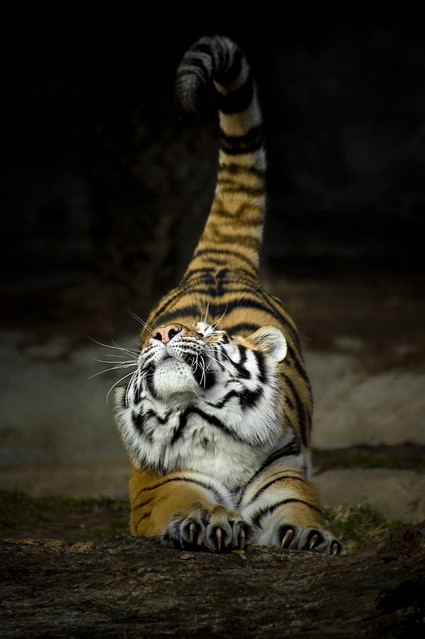 Big cats stretch too | Flickr - Photo Sharing!