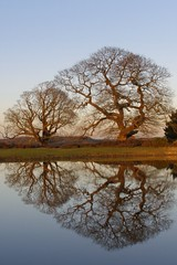 Winter oak reflections 01